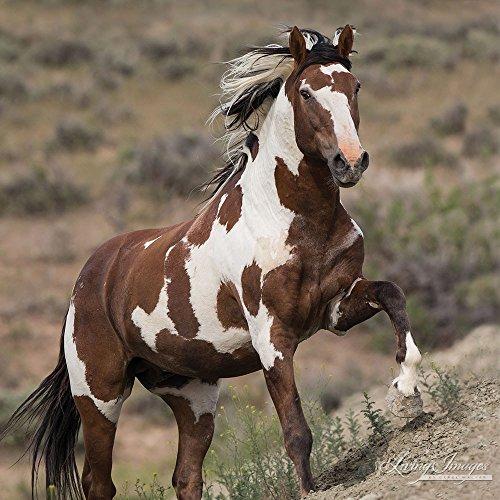 Picasso Runs Up - Fine Art Wild Horse Print - Sand Wash Basin - Picasso