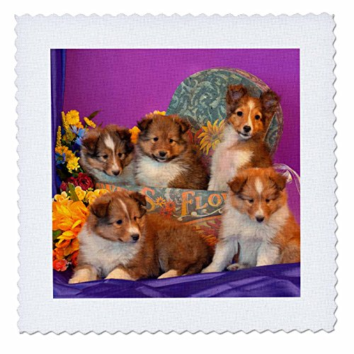(3dRose Five Shetland Sheepdog Puppies in & Out of A Hat Box, Mr, Quilt Square, 12 by 12-Inch (qs_207515_4))
