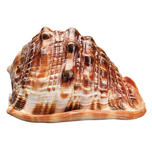 Ologymart Natural Bull's Mouth Helmet Conch Shell Coral Sea Snail Fishtank Adorn Ornament Home -