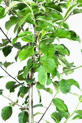 1 Anna Apple Tree, Live Plant, Size: 5-6 ft. by Grey (Image #2)