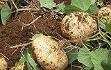 5 seeds of Jicama Mexican Yam Bean Pachyrhizus Erosus Heirloom Rare Sweet & Crunchy