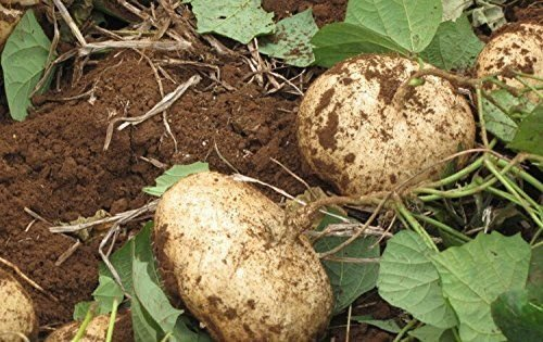 5 seeds of Jicama Mexican Yam Bean Pachyrhizus...