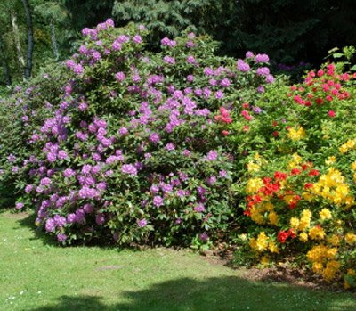 Lavender Rhododendron Shrubs - Huge Purple Blooms The First Year! - 1 Gallon by Brighter Blooms (Image #2)