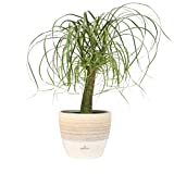 Costa Farms Ponytail Palm Bonsai, Live Indoor Plant, 15 to 20-Inches Tall, Ships in Scheurich Ceramic Planter, Fresh From Our Farm, Excellent Gift or Home Décor