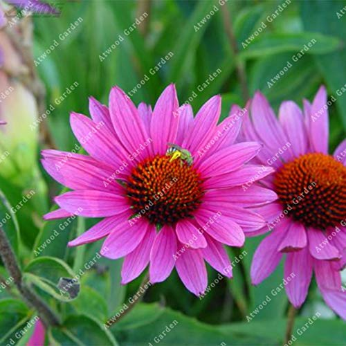 Seed 100 Pcs Echinacea Coneflower High Ornamental Medicinal Value Wild Herbs Robust Growth Management Simple