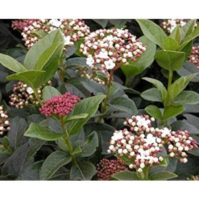 Cheap Fresh Shrub Seeds Viburnum Macrophyllum Evergreen Get 10 Seeds Easy Grow #GRG01YN : Garden & Outdoor