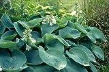 Hosta sieboldiana Elegans HUGE LEAVES Seeds!