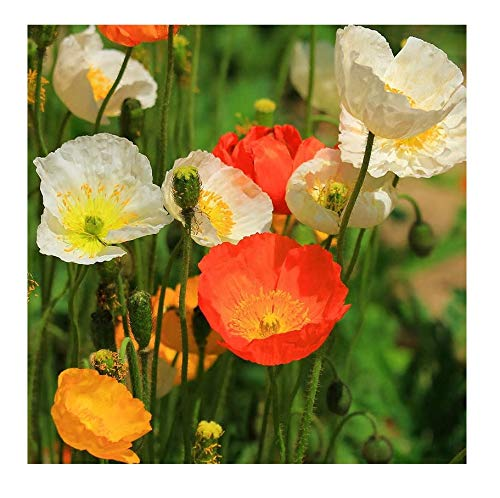 Poppy Flower Seeds - David's Garden Seeds Flower Poppy Iceland SL3311 (Multi) 500 Open Pollinated Seeds