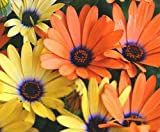 African Daisy mix- 50 seeds