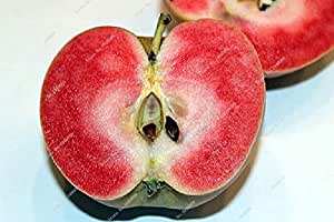proof product Bonsai apple red meat seeds 10 Pcs apple seeds (wet sand used) fruit Bonsai garden in pots planters flowers