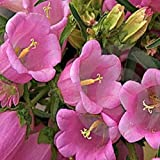 Pink Canterbury 125 Seeds Old Fashioned Flower Ffavorite