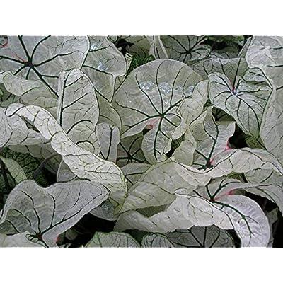 Caladium jr Bulbs, Brilliant White Foliage for Shaded Areas. Now Shipping ! (5 Bulbs) by AchmadAnam : Garden & Outdoor