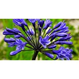 agapanthus praecox ssp orientalis dwarf blue agapanthe 10 graines jardin. Black Bedroom Furniture Sets. Home Design Ideas