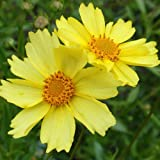 Full Moon Coreopsis Perennial Plant - Drought Resistant - Gallon Pot