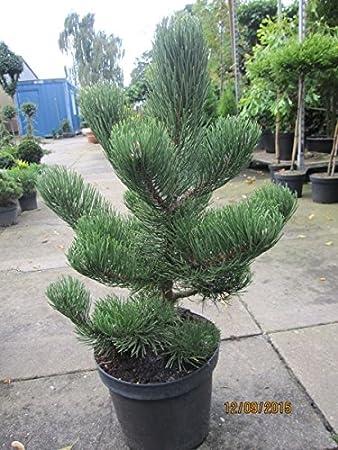 Schwarzkiefer Oregon Green Pinus Nigra Oregon Green Amazonde Garten