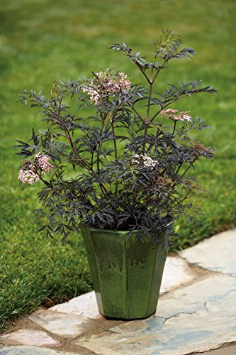 Black Lace Elderberry (Sambucus) Live Shrub, Pink Flowers, 4.5 in. Quart by Proven Winners (Image #6)
