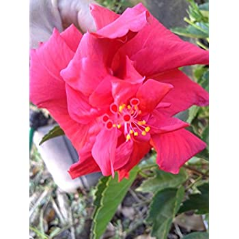 Amazoncom 2 Double Red Hibiscus Well Rooted Live Starter Plant 4