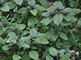 "Albahaca Blue Moon Basil Plant - The Best Indoor Basil - Live Plant - 4"" Pot -"
