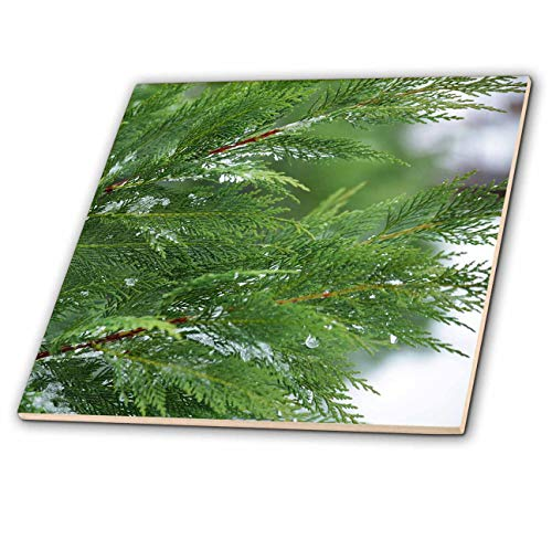 - 3dRose Stamp City - Nature - Close up Photograph of Leyland Cypress Foliage During a Snow Day. - 8 Inch Ceramic Tile (ct_302865_3)