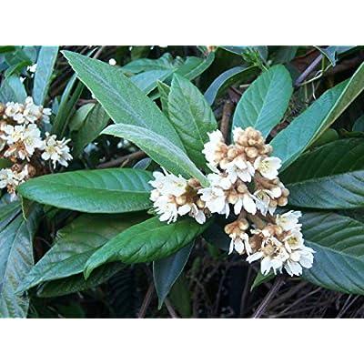 Loquat (10 Seeds) : Garden & Outdoor