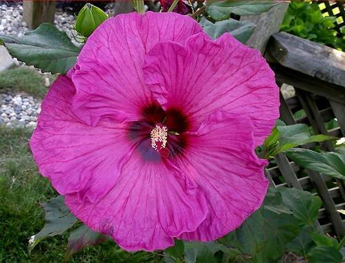 Hardy Hibiscus - 10 Plum Crazy Hibiscus Seeds