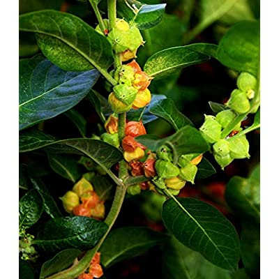 Withania somnifera | Ashwagandha | Indian Ginseng | Winter Cherry | 100_Seeds : Garden & Outdoor