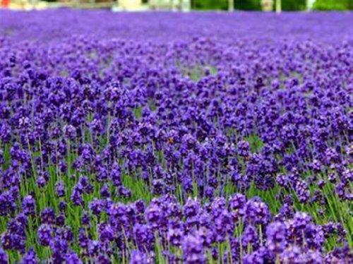 - SD1582 Dark Blue Lavender Lady Fresh Garden Herb Seeds, Lavandula Herb Plant Seeds, New Live Seeds (20 Seeds)