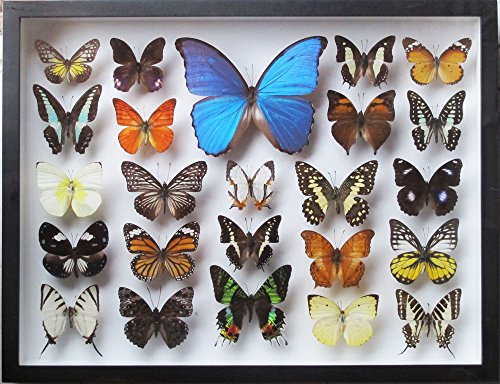 LUXURY STYLE REAL MIX BEAUTIFUL BUTTERFLY IN LARGE SIZE BLACK FRAMED DISPLAY by ThaiHonest