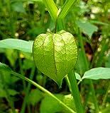 Cutleaf Ground Cherry Physalis Angulata Organic 10 Seeds GBP 001