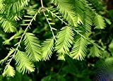 Solution Seeds Farm Heirloom Dawn Rare Redwood Forest Bonsai Seeds, Metasequoia glyptostroboides (SEEDS)