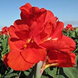 CANNAS-President Our Best Selling Variety for Over 80 Years 6 Per Bag Large 4-6 Eye Bulbs