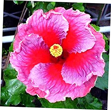 Amazoncom Seeds 10 Rare Pink Purple Hibiscus Seeds Perennial Seed