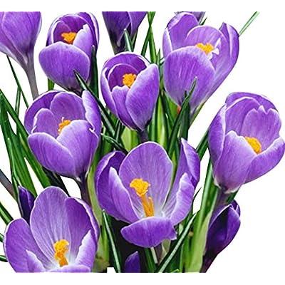 "10 Purple Crocus - Large Spring Blooming- Crocus""Remembrance"" Corms Bulbs : Garden & Outdoor"