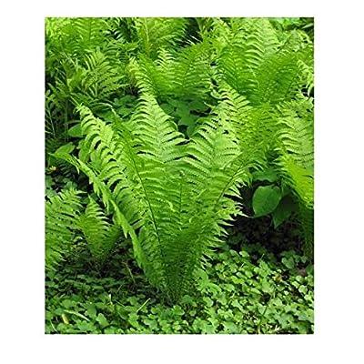 20 OSTRICH GLADE FERN Rhizome/root- (Matteuccia struthiopteris) : Garden & Outdoor