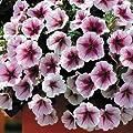 Park Seed Opera Supreme Raspberry Ice Petunia Seeds