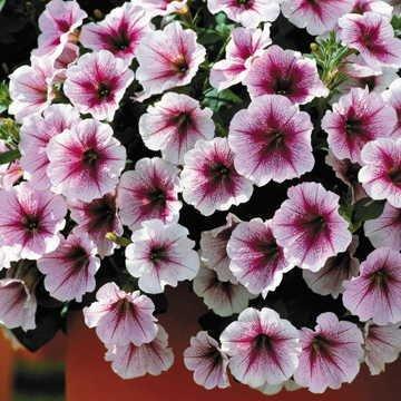 (Park Seed Opera Supreme Raspberry Ice Petunia Seeds)