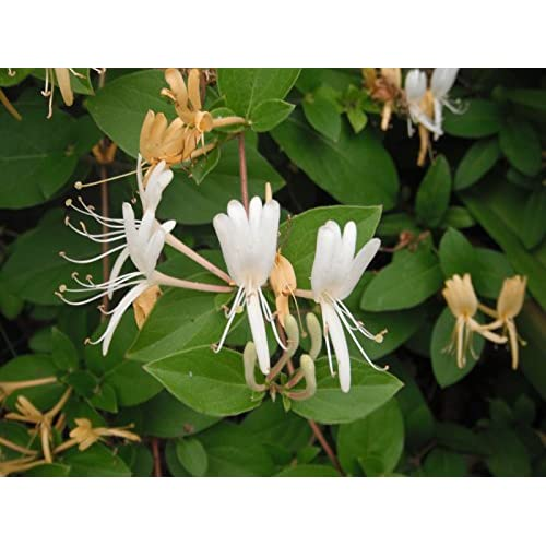 Cheap Hardy Favorite Hall's Honeysuckle Lonceria japonica Live Plant free shipping