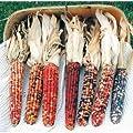 David's Garden Seeds Corn Ornamental American Pride 9911SV (Multi) 50 Non-GMO, Hybrid Seeds