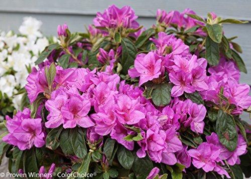 lavender-bloom-a-thon-everblooming-azalea-everblooming-proven-winners