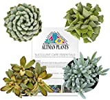 "Altman Plants Assorted Fuzzy Succulents Collection fun textures for school gardens or projects 2.5"" 4 Pack"
