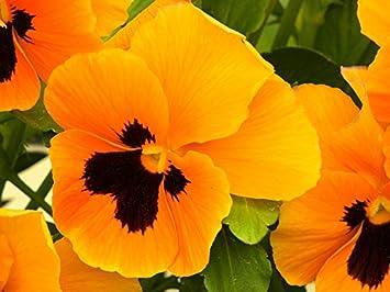 Pensee De Jardin A Grandes Fleurs Orange Mit Auge Orange Avec Un