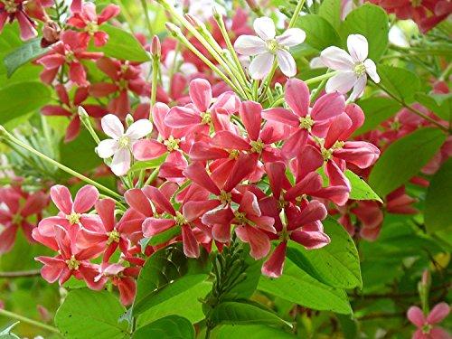 Siam Garden Live Madhumalati Honeysuckle Rangoon Creeper Flower...