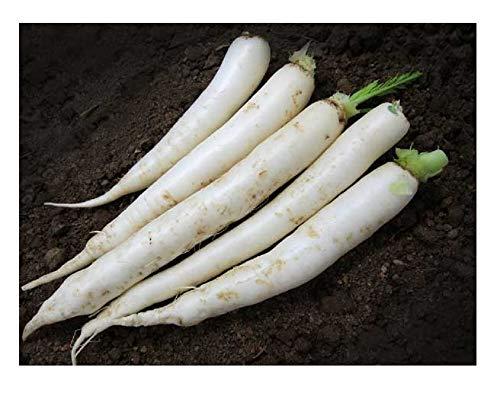 David's Garden Seeds Radish Daikon Japanese Minowase 0220 (White) 200 Non-GMO, Heirloom Seeds