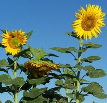 12' Sunflower (*Seeds and Things Skyscraper Sunflower 50 Seeds The Giant