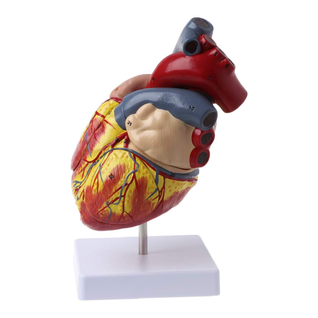 Huilier Disassembled Anatomical Human Heart Model Anatomy Medical Viscera Organs Medical Teaching Resource Tool