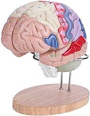 Modelo anatômico do cérebro, modelo médico do cérebro, diferentes cores vívidas, mais claramente, 4 peças esco