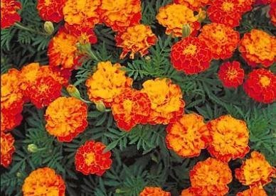David's Garden Seeds Flower Marigold Sparky Mix DGSMAR122YU (Multi) 200 Open Pollinated Seeds (Plant How To Marigold Seeds)