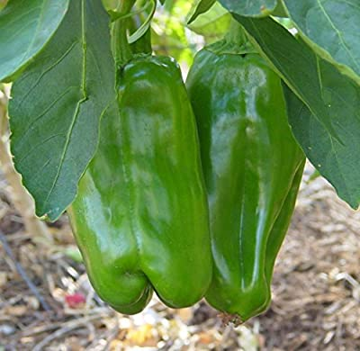 Big Bertha Sweet Pepper - 10 Seeds - Huge Fruit