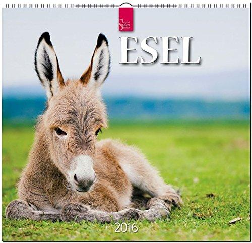 Esel 2016: Original Stürtz-Kalender - Mittelformat-Kalender 33 x 31 cm [Spiralbindung]