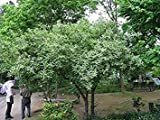 Autumn Olive Tree 15 Seeds (Elaeagnus umbellata) Landscape Use